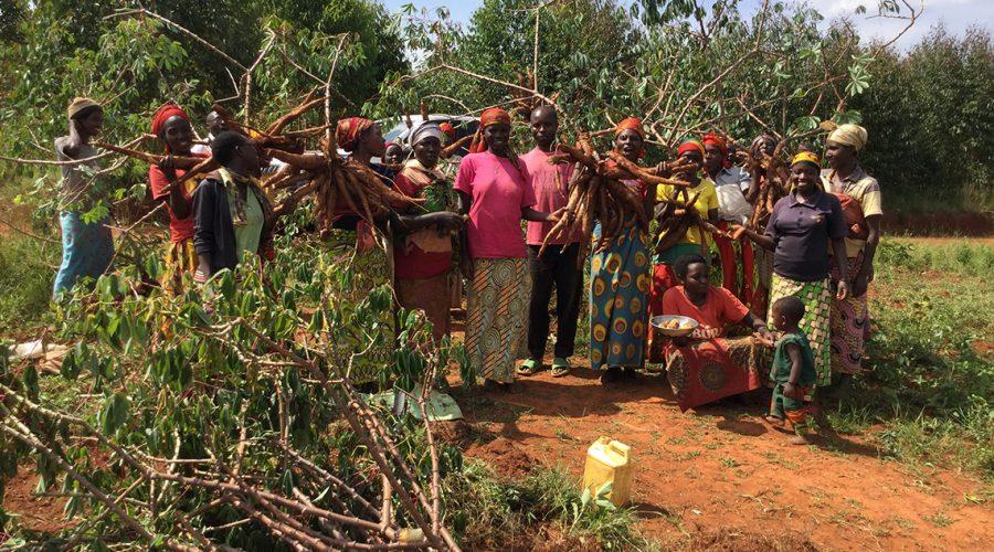 harvesting-cassava.jpg